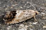 Chestnut Tortrix (Cydia splendana)